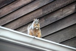 squirrel living in the gutter of a toronto home